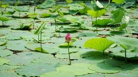 En ensam lotusblommablomma och en knopp står i dammet Fotografering för Bildbyråer