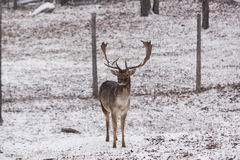 En ensam manlig dovhjort i ett snöig fält Royaltyfri Fotografi