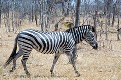 En ensam sebra som går till och med den torra busken i Hwange Arkivbilder