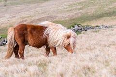 En ensam Shetland ponny betar på högväxt gräs på en skotsk hed på arkivfoton