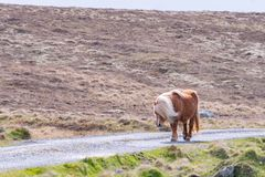En ensam Shetland ponny går ner en singletrack väg på en skotsk hed fotografering för bildbyråer