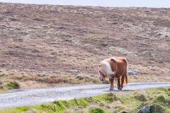En ensam Shetland ponny går ner en singletrack väg på en skotte royaltyfri fotografi