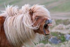 En ensam Shetland ponny skriar och att visa hans tänder på en skotsk hed royaltyfria bilder