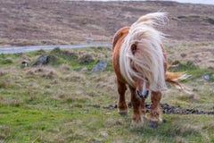 En ensam Shetland ponny som går på gräs nära en singletrack väg på fotografering för bildbyråer