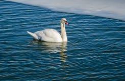 En ensam stum svan på vattnet Arkivfoto