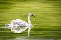 En ensam svan simmar fridfullt i en liten sjö royaltyfria foton