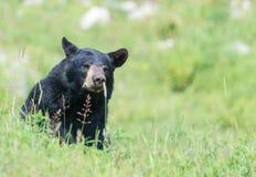 En ensam svart björn i något gräs Arkivbild