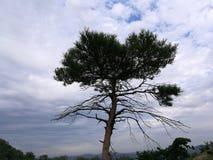 En ensam tall på berget Arkivfoto