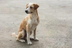 En ensam thailändsk hund med konkret bakgrund Royaltyfri Foto