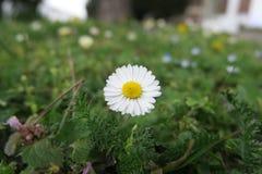 En ensam tusensköna på gräset Fotografering för Bildbyråer