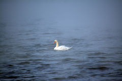 En ensam vit svan i det blåa vattnet Royaltyfria Foton