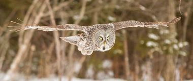 En ensamma stora Grey Owl i vinter Arkivfoto
