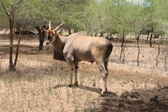 Enslig vuxen male eland Fotografering för Bildbyråer