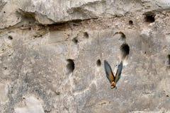 En europeisk bi-ätare Meropsapiaster som flyger i väg från rede arkivbilder