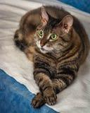 En exotisk lockig-haired katt med gröna ögon Arkivfoto