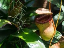 En fälla för fallgrop för växt för Nepenthesalatakanna i en botanisk trädgård royaltyfri foto