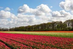 En färgglad tulipfield Arkivfoton