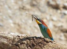 En färgrik bi-ätare Fotografering för Bildbyråer