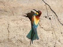 En färgrik bi-ätare Royaltyfria Foton