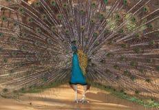 En färgrik blå påfågel som fördelar hans svans Fotografering för Bildbyråer
