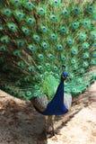 En färgrik påfågel Arkivfoton