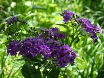 En färgstänk av lilor Royaltyfri Foto
