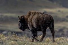 En fågel får en ritt på en bison Royaltyfri Foto