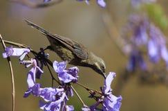 En fågel i filialerna av jakarandan Royaltyfri Foto