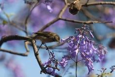 En fågel i filialerna av jakarandan Arkivbild