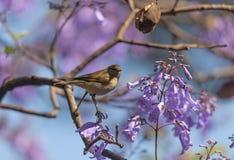 En fågel i filialerna av jakarandan Royaltyfri Fotografi