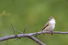 En fågel på torr filial Royaltyfri Bild