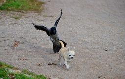En fågelhundattack Royaltyfri Bild