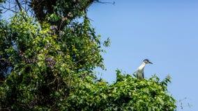 En fågelNycticoraxNycticorax som svart-krönas natthäger på träden royaltyfri fotografi