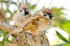 Sparrows Arkivfoton