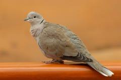 En försedd med krage duvaStreptopeliadecaocto sitter på en avsats i Förenadeen Arabemiraten royaltyfria foton
