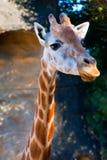 En försiktig giraff Royaltyfri Fotografi
