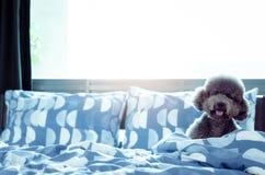 En förtjusande ung svart pudelhund som bara spelar och döljer i filt efter vak upp i morgonen med solsken på smutsig säng royaltyfri fotografi