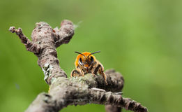 En face of honey bee Royalty Free Stock Images