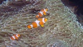 En familj av Amphiprionocellaris eller gemensamma Clownfish på heteractis magnifica Arkivfoton