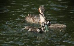 En familj av att bedöva utmärkt krönad simning för doppingPodicepscristatus i en flod Förälderfågeln matar en kräfta till lodisar arkivbild