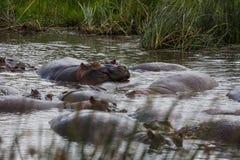 En familj av att koppla av för flodhästar Arkivfoton