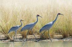 En familj av Brolga på en lagun arkivfoton