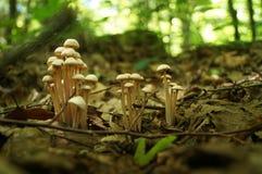 En familj av champinjoner med beigea hattar Arkivbild