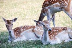 En familj av deers Royaltyfri Foto