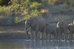En familj av elefanter i Kruger nationalparkdricksvatten från en fördämning royaltyfria foton