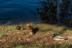 En familj av gräsandfåglar tillsammans på gräs vid vattnet Royaltyfria Foton