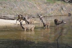 En familj av hjortar Arkivfoto