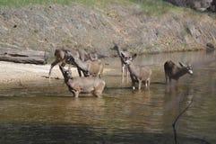 En familj av hjortar Fotografering för Bildbyråer