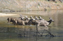 En familj av hjortar Arkivfoton