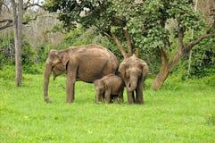 En familj av lösa asiatiska elefanter Royaltyfria Bilder